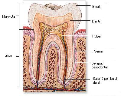 Pengetahuan Tentang Gigi Manusia